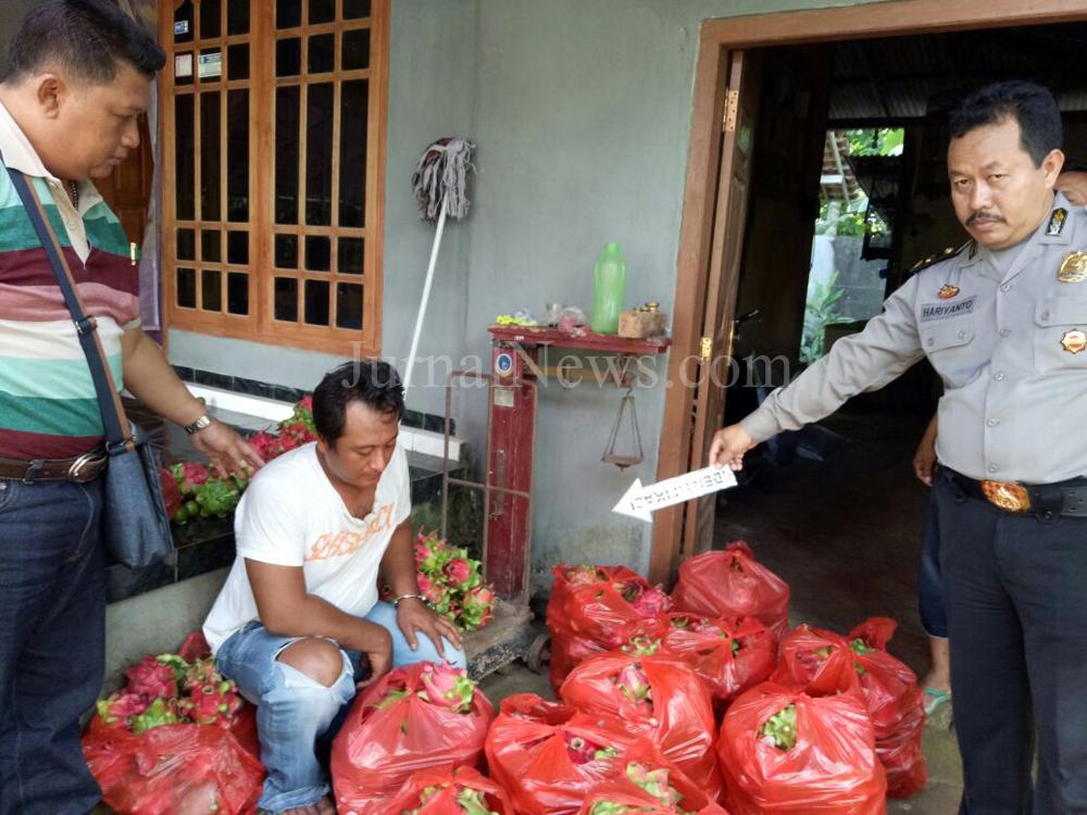 Turiman Mengaku Mencuri 263 Kg Buah Naga Sendirian