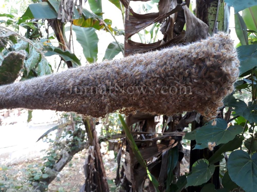 Dinas Pertanian Turunkan Tim Atasi Serangan Ulat Bulu