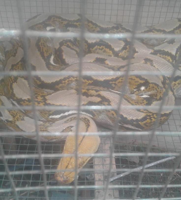 Ular Python Serang Kandang Ayam Warga, Di Desa Purwodadi